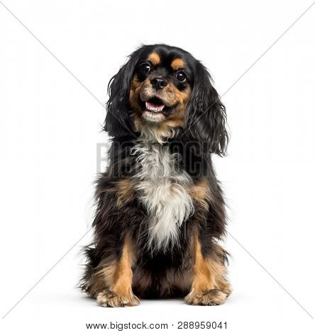 Cross breed with Cavalier King Charles Spaniel sitting in front of white background