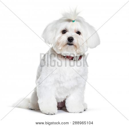 Bichon Frise sitting in front of white background