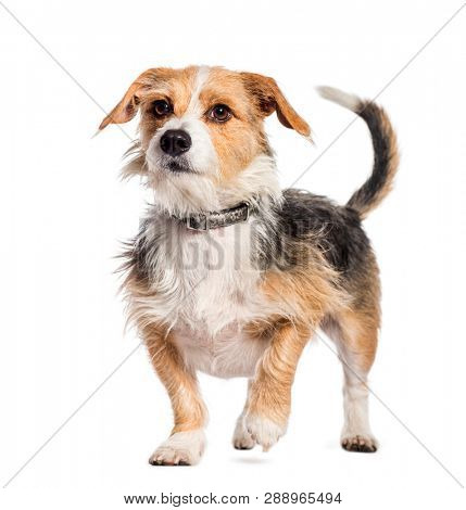 Mixed breed dog in front of white background