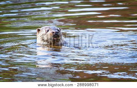An Adult Male (dog) Eurasian Otter (lutra Lutra) Swims In The River Severn In The Town Of Shrewsbury