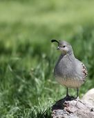 A female Gambel's quail perching on a rock. poster