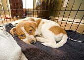 Texas red heeler pup in crate 11 weeks old. poster