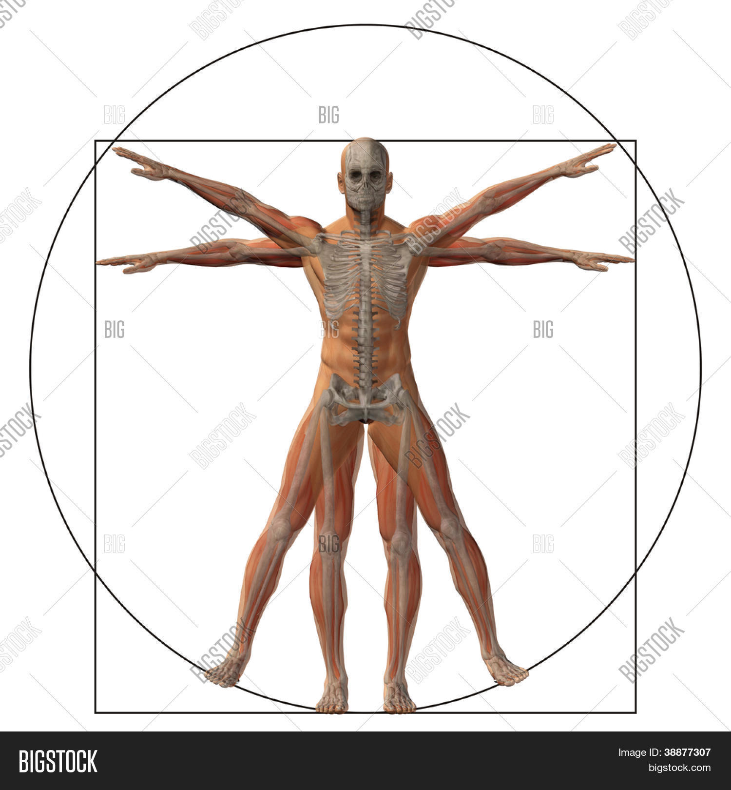 High Resolution Vitruvian Human Man Image & Photo | Bigstock