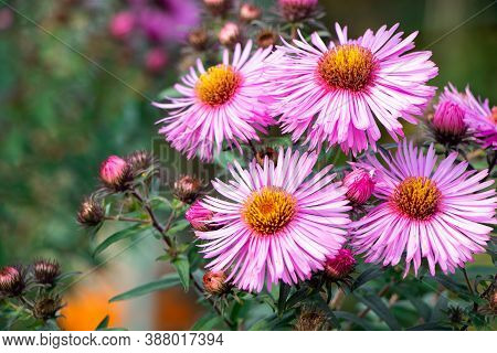 Purple Aster. A Flower Of Aster. Flower In Garden. Violet Flower Of Aster