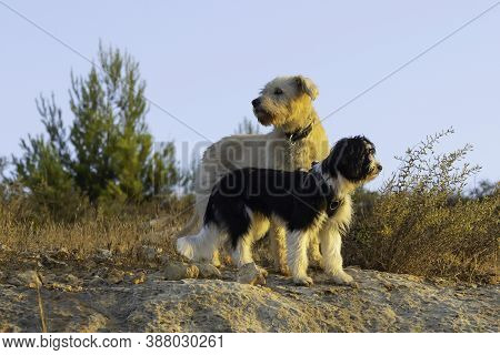 Two Mixed Breed Dogs In A Watchful Moment, In A Fallow Field Near Jerusalem, Israel, At Dawn.