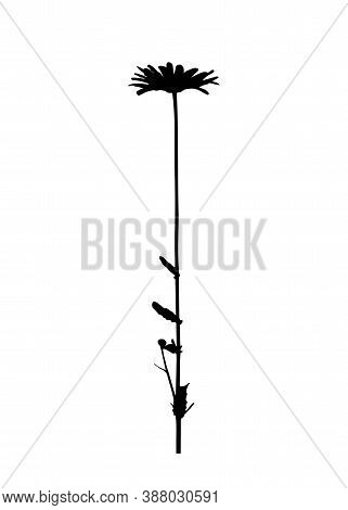 Vector Oxeye Daisy - Dog Daisy (leucanthemum Vulgare) Silhouette Isolated On White Background