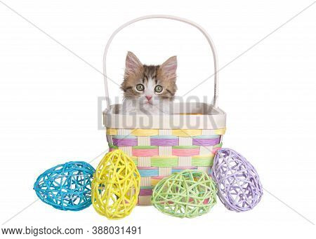 Close Up Of A Norwegian Forrest Cat Kitten Sitting Inside A Pastel Colored Wicker Easter Basket, Wit