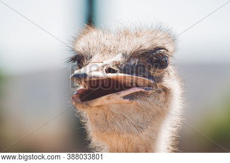 Smiling Ostrich. Ostrich Head On Blurred Background. Common Ostrich With Open Mouth. Wild Close Up P