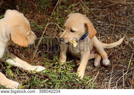 Portrait Of A Yellow Labrador Puppy. Labrador Puppy With A Bone In His Mouth. Puppies Look At Each O