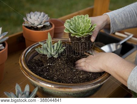 Planting Succulent Plant Into A Clay Pot At Garden Bench In A Backyard.