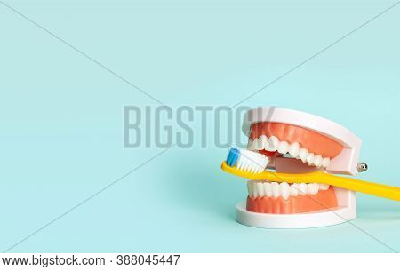 Jaw Model And Toothbrushes. The Concept Of How To Properly Brush Your Teeth Or How To Choose A Tooth