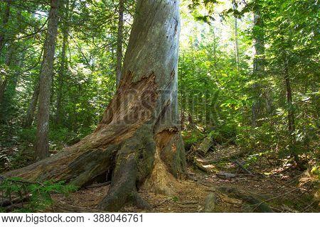 Estivant Pines Nature Sanctuary In The Small Upper Peninsula Michigan Town Of Copper Harbor. The Nat