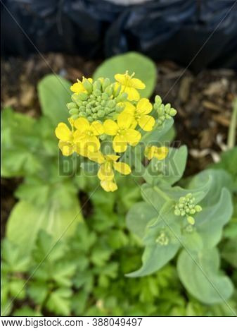 Photo Of The Flower Of Brassica Rapa Chinensis, Bok Choy, Pak Choi Or Pok Choi, A Type Of Chinese Ca