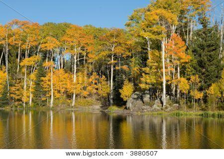 Quaking Aspens In Fall