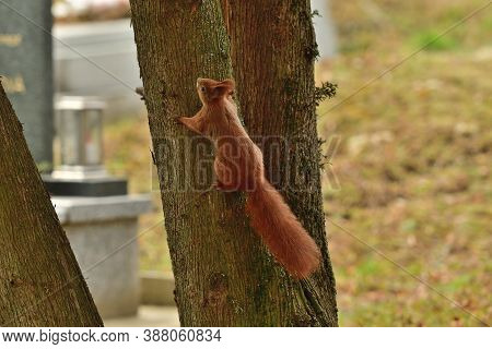 Eurasian Red Squirrel Lurking On The Branch Tree