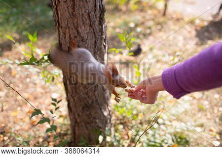 Squirrel Eating A Peanut At Outdoors Grass In Park From Hand