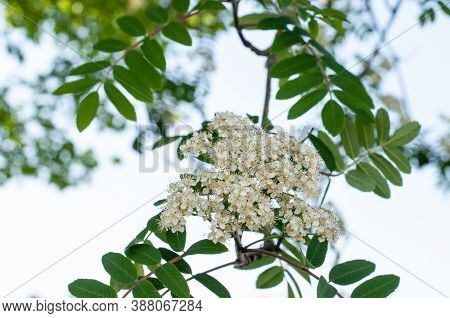Close Up Of The Inflorescence Of A Rowan Ash Tree Or Sorbus Aucuparia