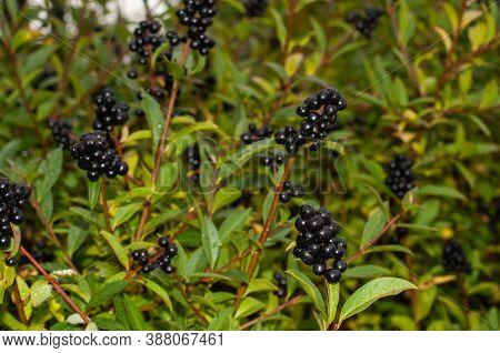 Inedible Black Ripe Berries Of A Privet Wet From Rain