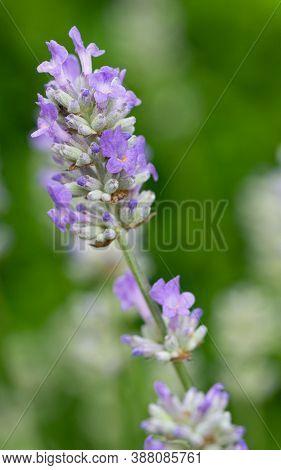 Lavender (lavandula Angustifolia), Close Up Of The Flower Head