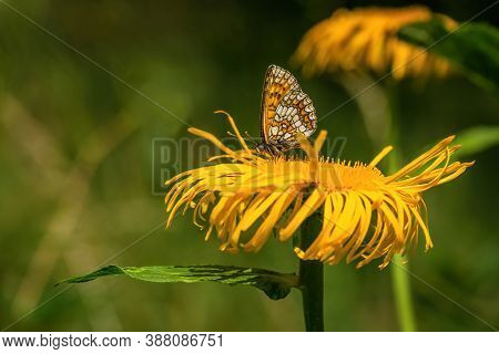 Heath Fritillary, An Orange, Brown And White Butterfly, Sitting On Bright Yellow Ox-eye Daisy Flower