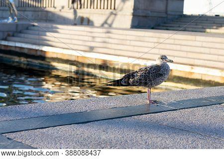 Gray Feathered Seagull Bird Is Walking On Stone Along Water On Wharf. Wild Seabird In City On Daytim