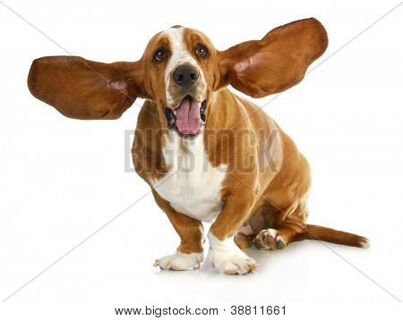 happy dog - basset hound with ears up