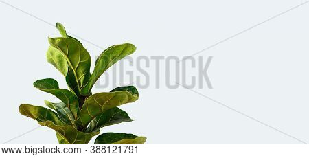 A Fiddle Leaf Fig Or Ficus Lyrata With Large, Green, Shiny Leaves Planted Isolated On Gray Backgroun