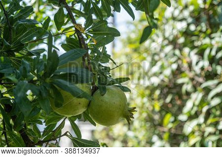 Healthy Lifestyle Concept. Pomegranates Trees And Green Unripe Fruits