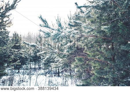 Transparent Ice And Snow Glisten On The Branches Of A Pine Tree In Winter In The Bright Sun. New Yea