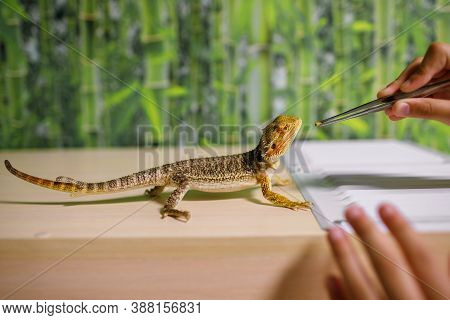 The Owner Feeds The Lizard With Special Food With Tweezers, Looks After Reptiles At Home, An Amphibi