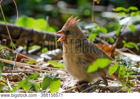 A Female Northern Cardinal (cardinalis Cardinalis) This Mid-sized Songbird Is Commonly Found In Wood