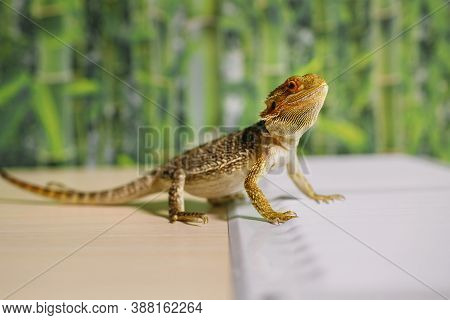 Sand Lizard In A Terrarium, Domestic Life Of Pets, Amphibian Dragon With Brown Spikes, Exotic Reptil