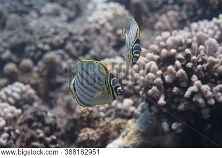 Ornate Butterflyfish (chaetodon Ornatissimus) On Coral Reef Off Moorea. French Polynesia, Next To Ta