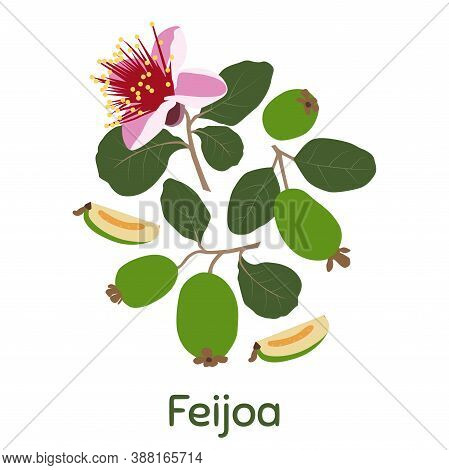 Feijoa, Whole Fruit And Half. Vector Illustration Eps