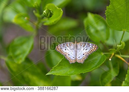 A Close Up Above Angle View Of An Anartia Butterfly (typically Known To Live In Tropical And Subtrop