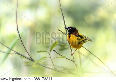 Adult male black-headed weaver bird, ploceus-melanocephalus, perched on a branch against soft green foliage background. Space for text.