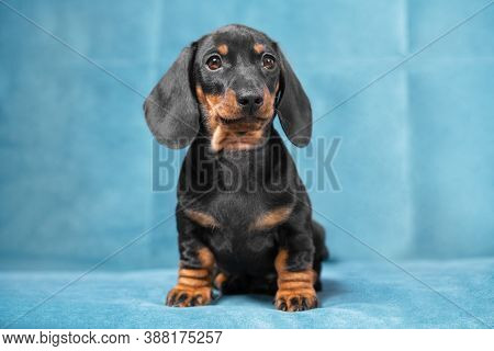 Cute Serious Recently Adopted Dachshund Puppy Sits On Blue Sofa In New Home, Front View. Charismatic