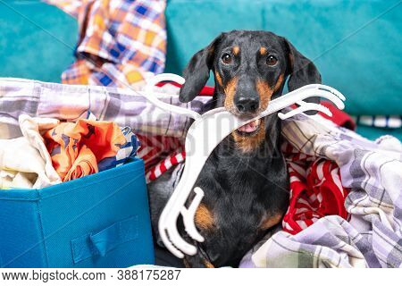 Funny Dachshund Dog Sorts Things In The Wardrobe, Sits In Pile Of Clothes With Hanger In His Teeth A