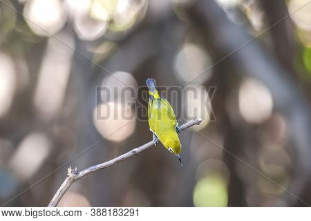 Oriental White-eye, Indian White-eye (zosterops Palpebrosus) Perched On A Tree In The Nature Wild