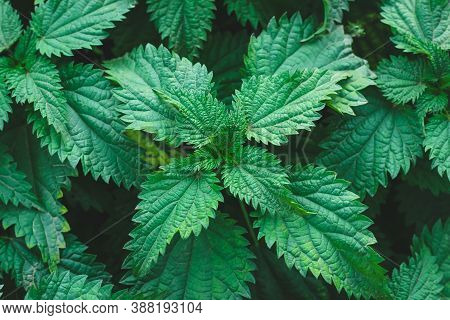 Common Nettle Bush Outdoors. Urtica Dioica. Stinging Nettle Plant. Herbal Medicine Concept. Foliage