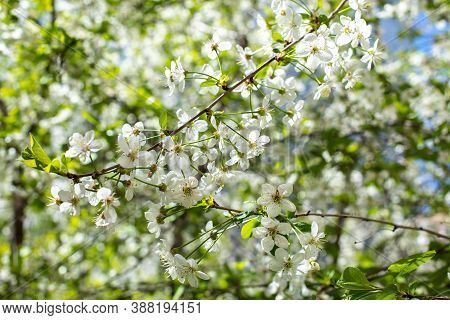 Cherry Blossom. Delicate Natural White Garden Cherry Flower On A Tree Branch. Blossom Orchard Spring
