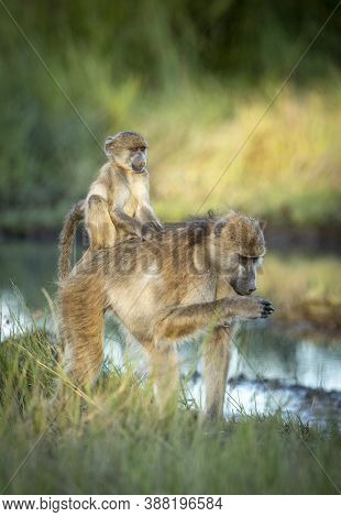 Vertical Portrait Of An Adult Female Baboon Carying Her Baby On Her Back In Khwai River In Botswana