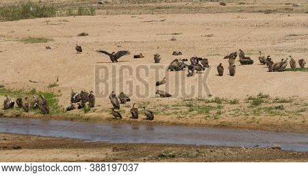 Large Flock Of White-backed Vultures And One Lappet-faced Vulture Sunning Themselves Along A River B