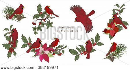 Northern Cardinal Birds And Christmas Plants, New Year Compositions With Winter Plants And Birds, Se
