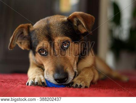 Kleiner Braun Schwarzer Hund Mit Seinem Spielzeug