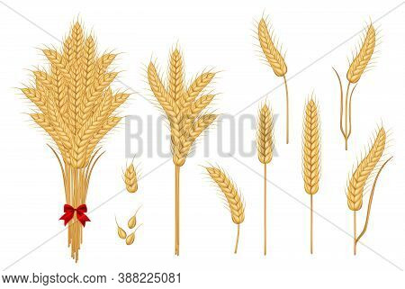 Set Of Wheat Yellow Ripe Spikelets And Grains. Grain Vector Isolated. Harvest. Organic Food. Farmers