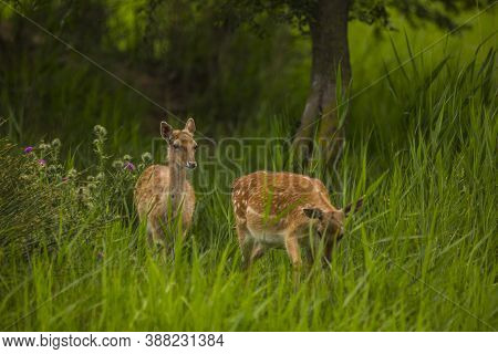 Fallow Deer In Aiguamolls De L'emporda Nature Reserve, Spain