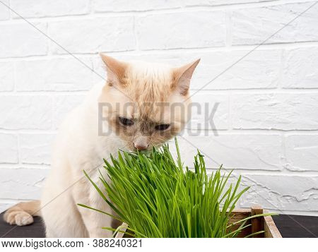 Cat Eating Grass, Cat Is Eating Fresh Green Grass. Natural Herbal Treatment, White, Red Pet Cat Eati
