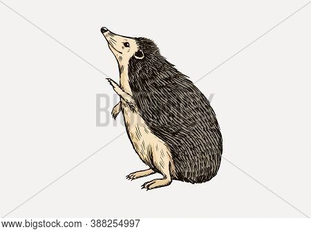 The Hedgehog Stands On Its Hind Legs. Spiny Forest Animal. Prickly Creature. Vector Engraved Hand Dr