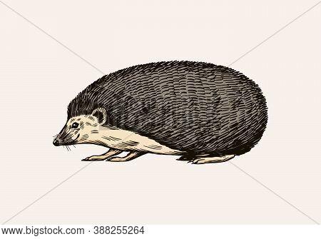 Hedgehog Or Spiny Forest Animal. Prickly Creature. Side View. Vector Engraved Hand Drawn Vintage Ske